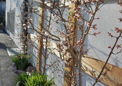 Flowers of apricot tree